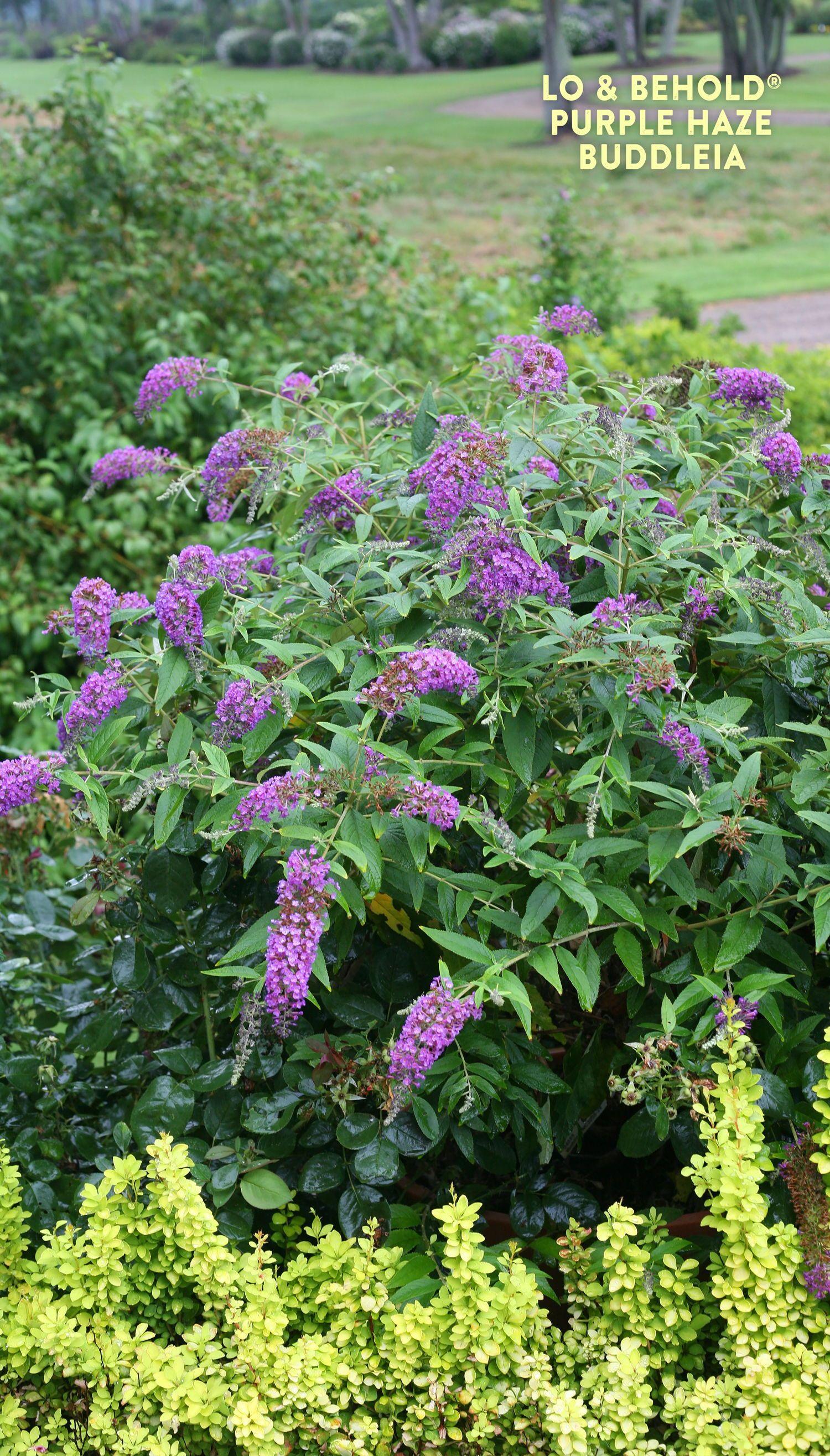 Lo Behold Purple Haze Butterfly Bush Buddleia X Plants Butterfly Bush Purple Plants