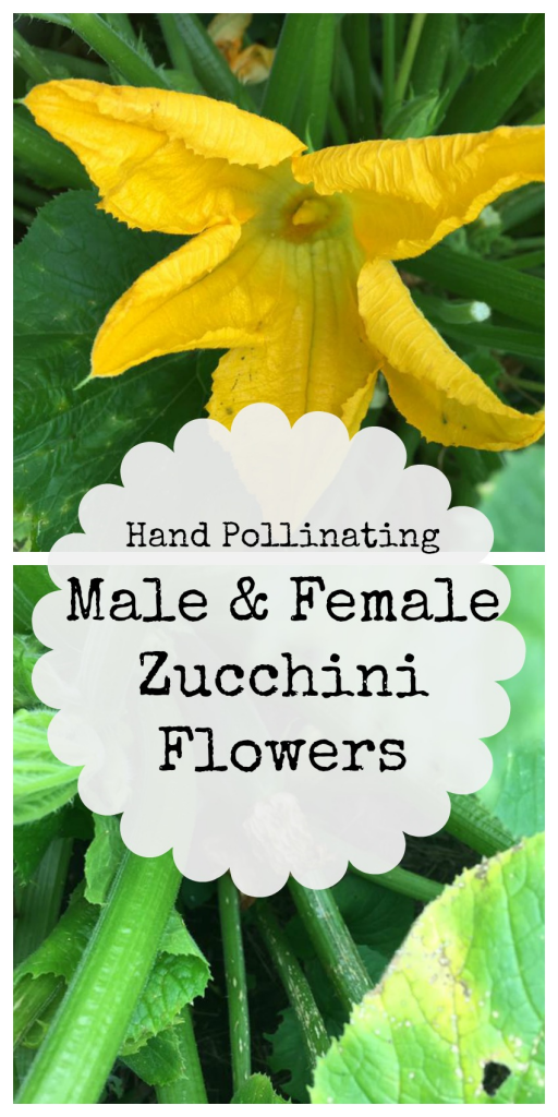 Hand Pollinating Male And Female Zucchini Flowers Family Growing Pains Zucchini Flowers Zucchini Plants Growing Vegetables