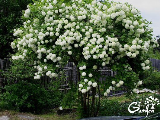 How to Grow Snowball Trees.  A snowball tree (Viburnum opulus Sterile) is a deciduous shrub that is also known as a guelder rose.  Steps: 1. Find a suit... - Сад огород - Google+