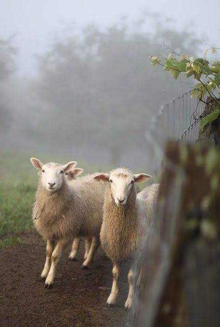Sheep on a misty morning. Animals, Animals beautiful