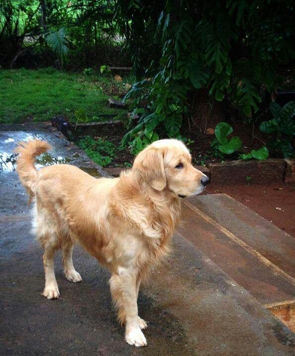 Beautiful Golden Retriever Retriever Puppy Cute Dogs