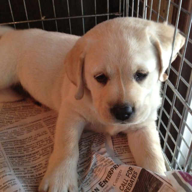 Micons Labradors Lodi Ca Labrador Labrador Retriever Retriever