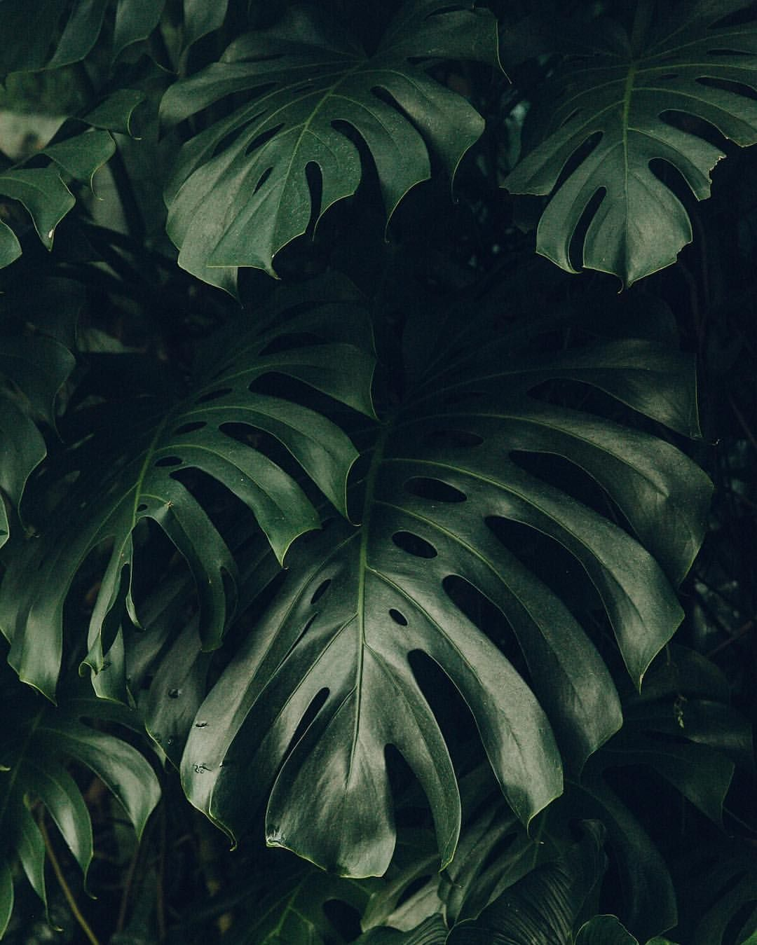 8 504 Likes 60 Comments Haarkon India Magnus Haarkon On Instagram A Big Whopper For Monsteramonday Plants Plant Wallpaper Indoor Tropical Plants