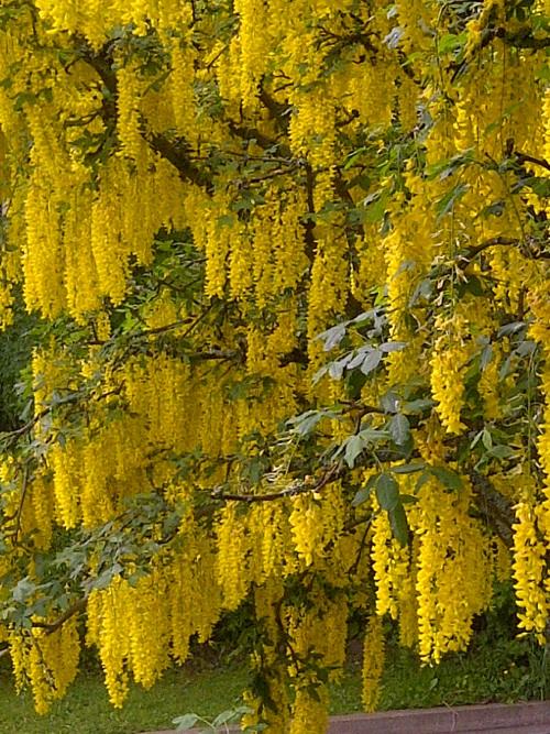 Golden rain tree south florida in full bloom in the springbut golden rain tree south florida in full bloom in the springbut doesnt last long i have a coupleautifula bit messy yellow mightylinksfo