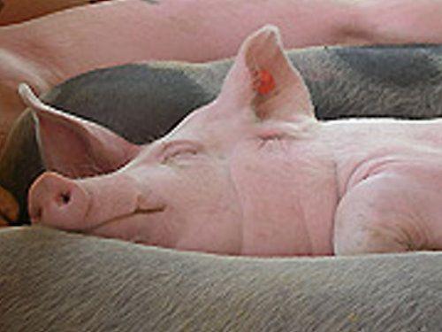 pig is sleeping