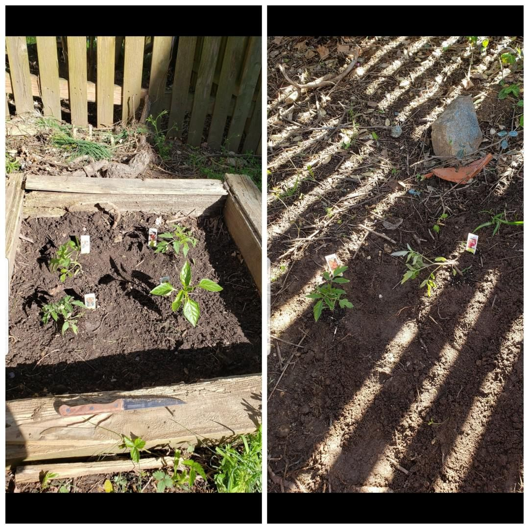 Today I welcomed in 6 beautiful children (5 tomatoes 1 pepper) #gardening #garden #DIY #home #flowers #roses #nature #landscaping #horticulture