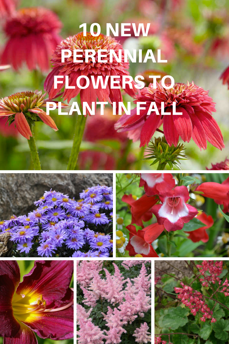 10 New Perennial Flowers To Plant This Fall Flower Pinterest