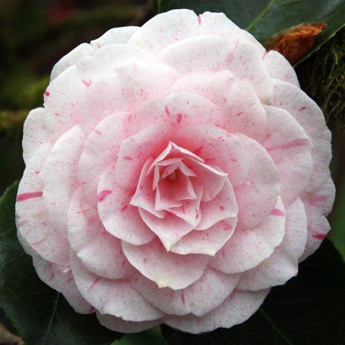 Camellia William Bartlett Plants Camellia Flowers