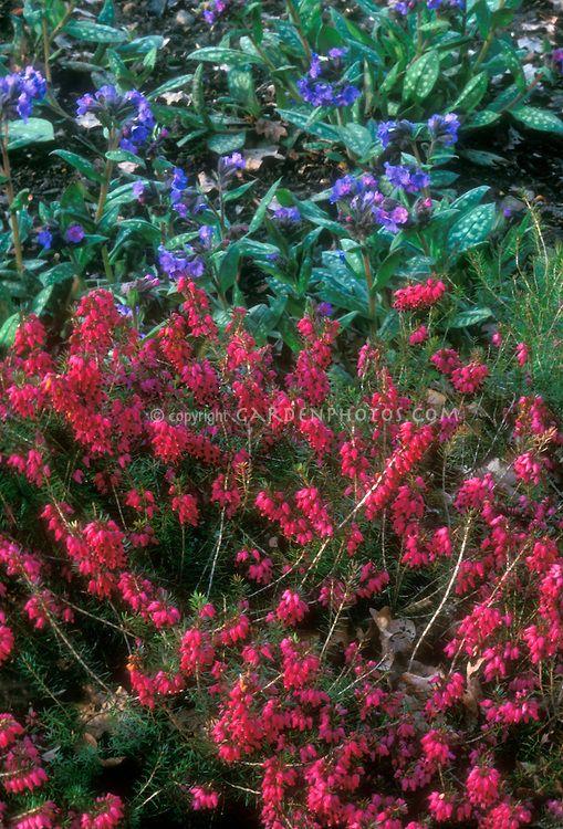 Erica carnea 'Myretoun Ruby' with Pulmonaria 'Lewis Palmer' | Plant & Flower Stock Photography: GardenPhotos.com