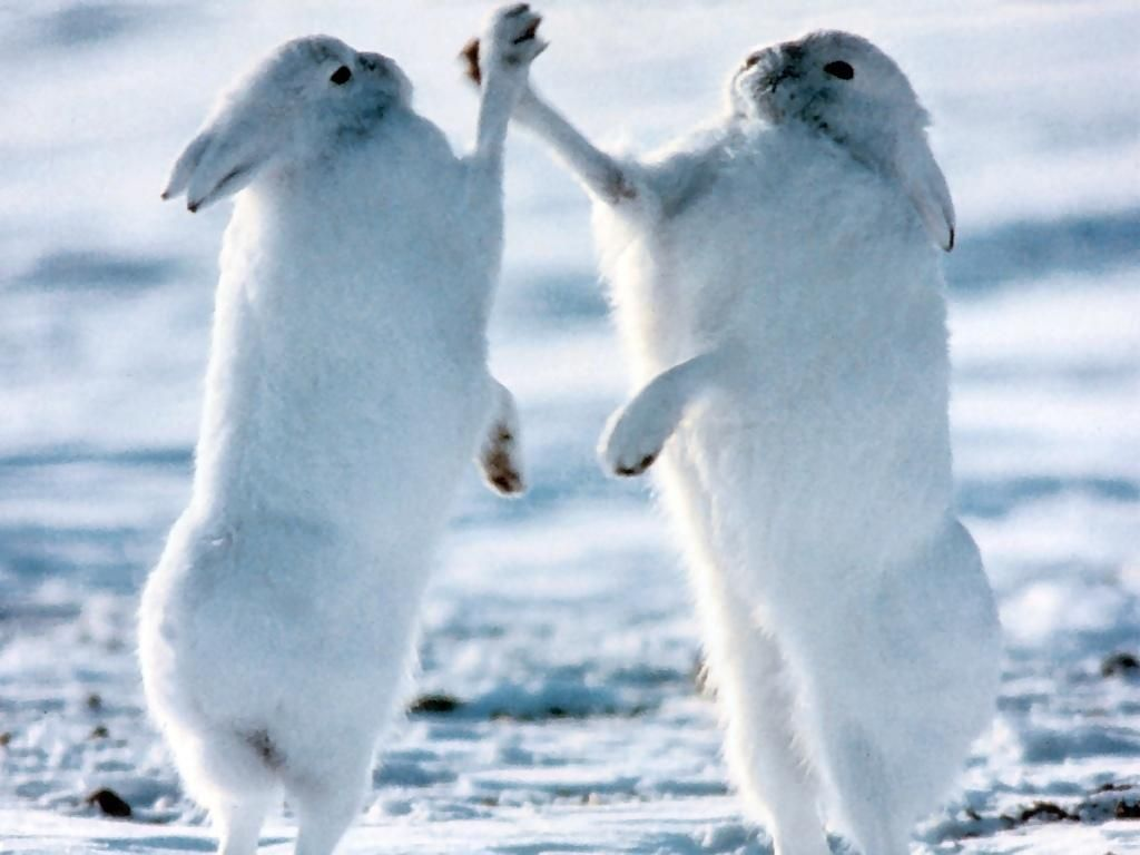 Arctic Hare Adaptations
