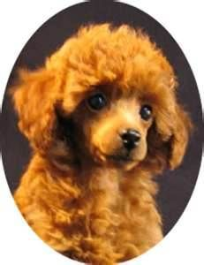 Poodles Bing Images Poodle Tea Cup Poodle Toy Puppies