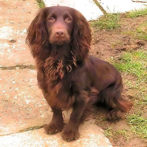 SOLID CHOCOLATE WORKING COCKER SPANIEL STUD DOG | Romford, Essex