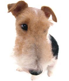 wire fox terrier - the-dog-collection photo