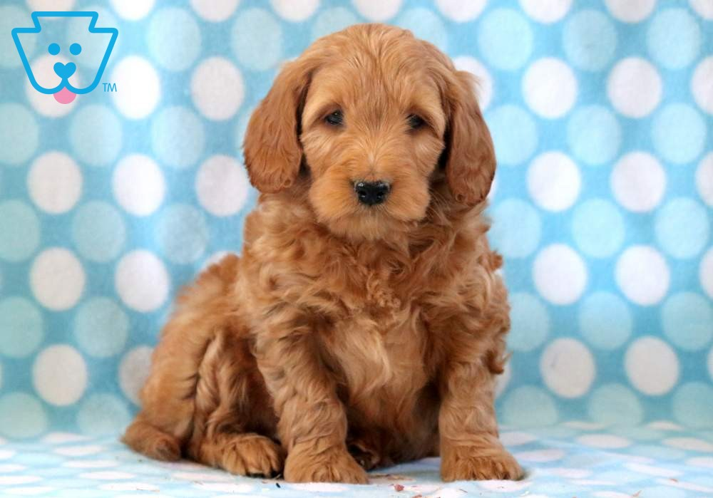 Pokey Goldendoodle Miniature Puppy For Sale Keystone Puppies In 2020 Goldendoodle Miniature Miniature Puppies Puppies For Sale