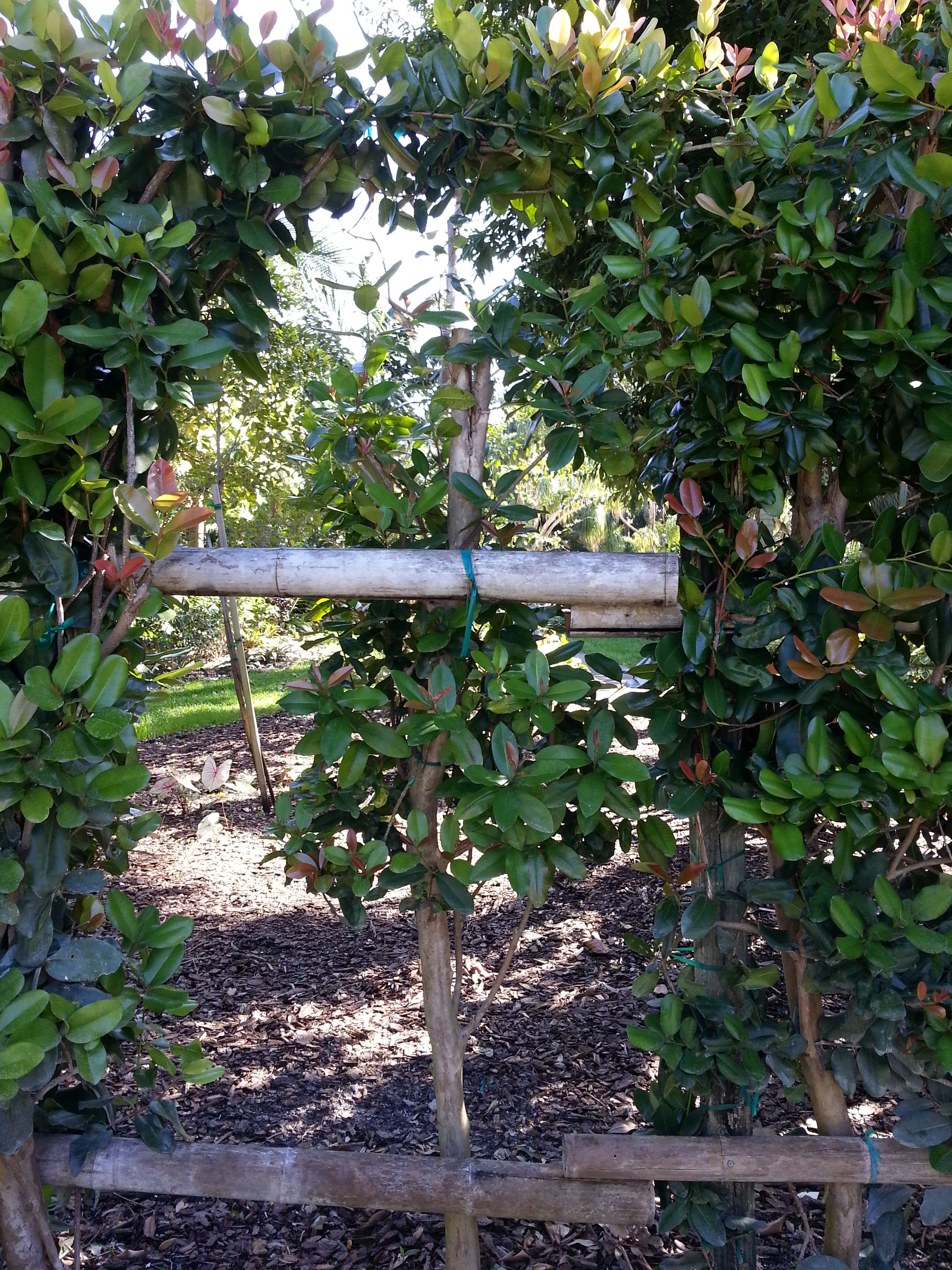 Espalier. Mounts Botanical Gardens, West Palm Beach, Florida ...