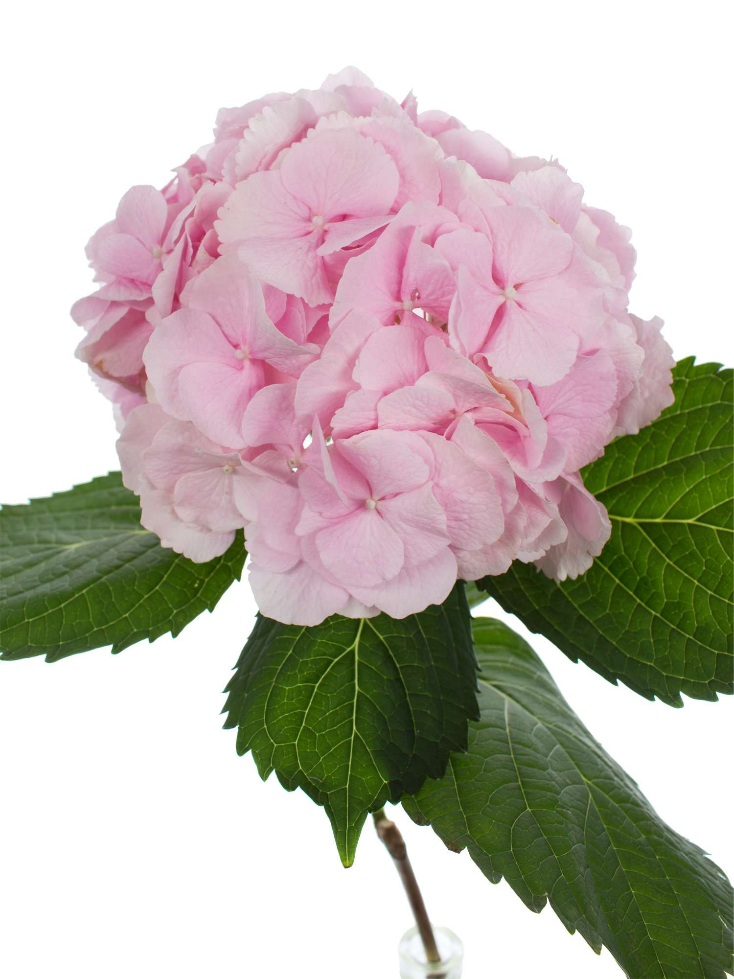Hortensien überzeugen Mit Ihrer Schönheit Nicht Nur Im Garten ... Schnittblumen Frische Strause Garten