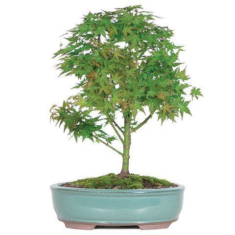 The Japanese Maple Bonsai Tree is considered to be an extremely valuable and culturally important bonsai tree in Japan. It is known for its vivid green leaves that begin to first emerge in the spring as rosy pink, and continue to show their color for the heat of summer and even into autumn. The leaves are gracefully serrated, which make it a unique home decor or patio decoration! See more bonsai trees for sale at www.nurserytreewholesalers.com!