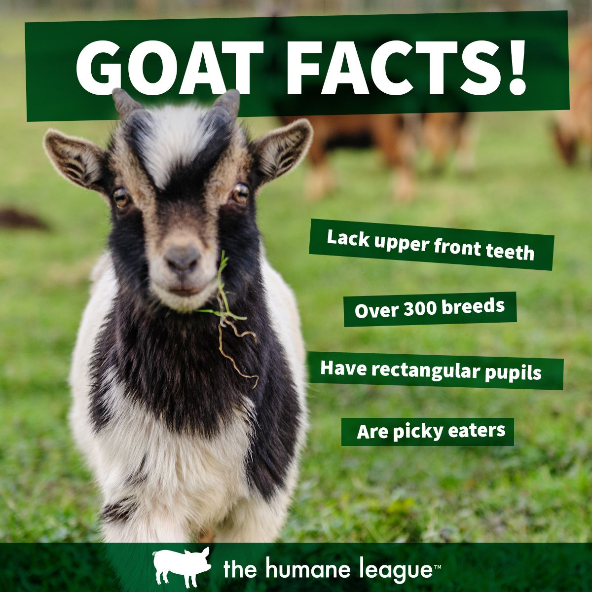 Image of: Eating How To Become Vegan Animal Facts Vegan Life Goats Pinterest Goat Facts Animal Facts Animal Facts Facts Animals