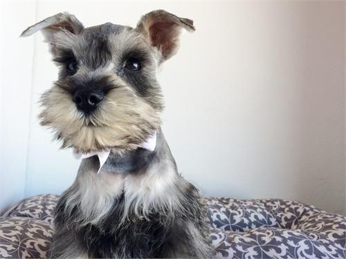 Mini Schnauzer Puppies Pets Los Angeles Ca Mini Schnauzer