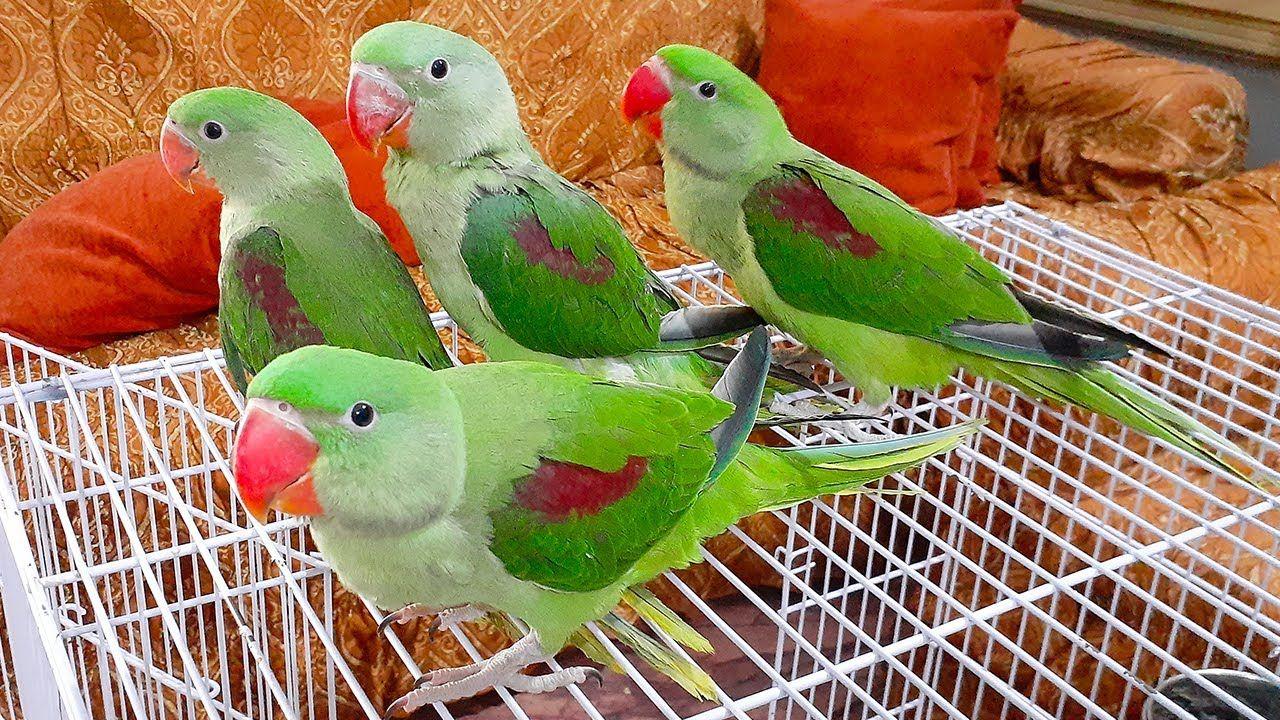 Cutest Parrots Entry In Talking Parrot Family Four Alexandrine Baby Par In 2020 Parrot Talking Parrots Alexandrine Parrot