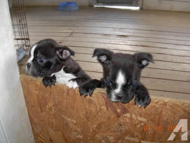 Boston Terrier Puppies 10 Weeks Old 2 Males 350 00 Puppies