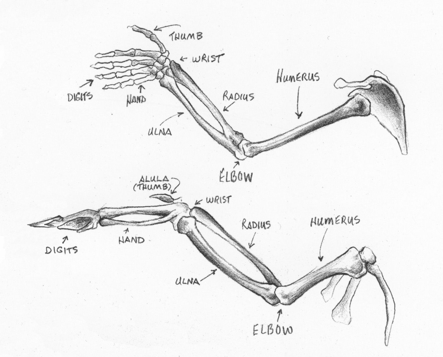 Arm And Hand Skeleton Compared To A Wing Skeleton