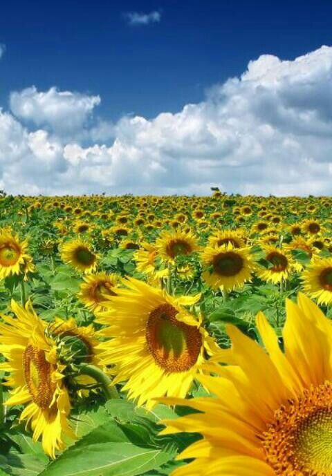زهرة عباد الشمس Sunflower Fields Sunflower Field Pictures Sunflower Wallpaper