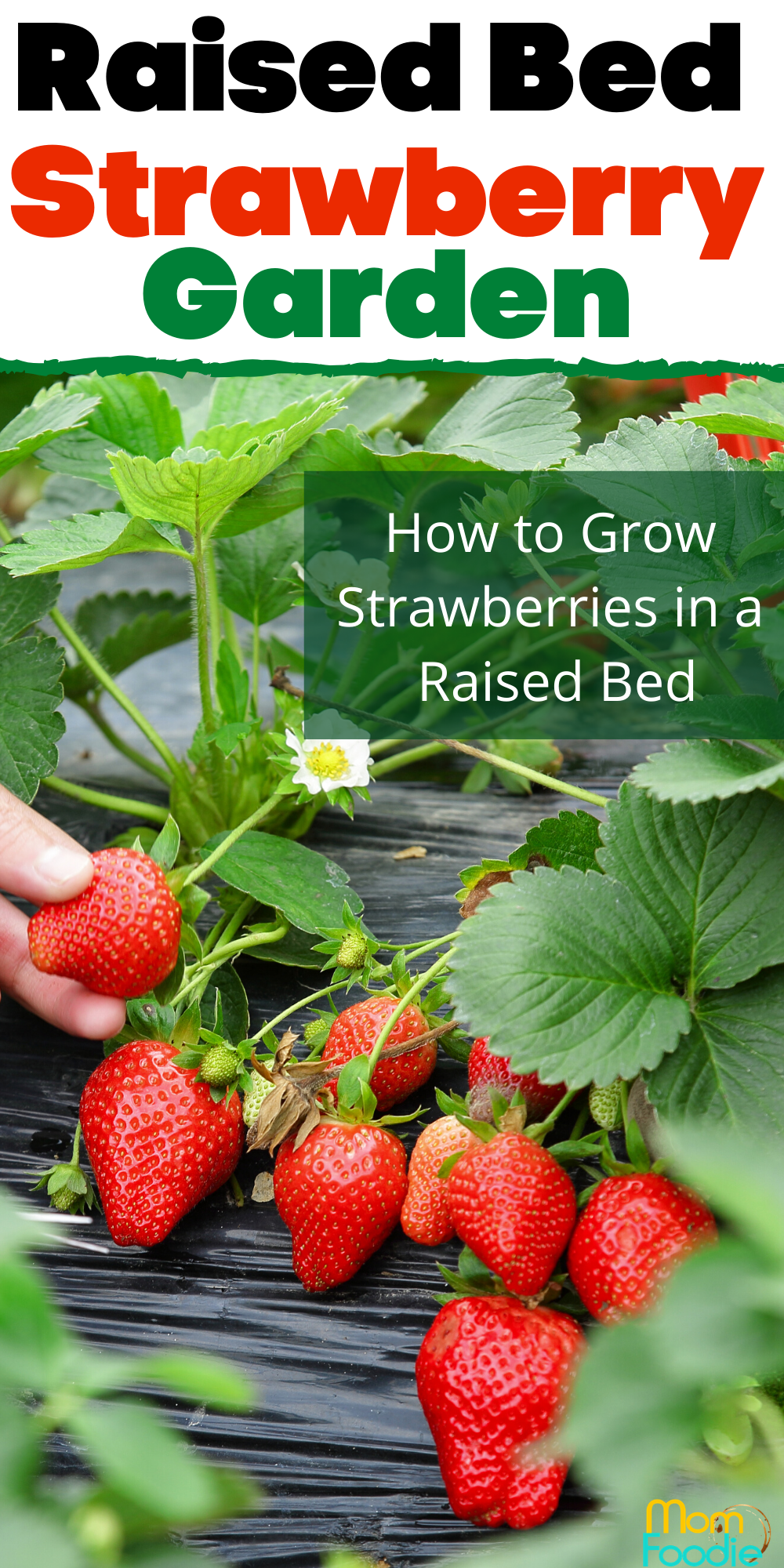 Growing Strawberries In Raised Beds For A Bountiful Harvest Strawberry Garden Growing Strawberries Growing Strawberries In Containers