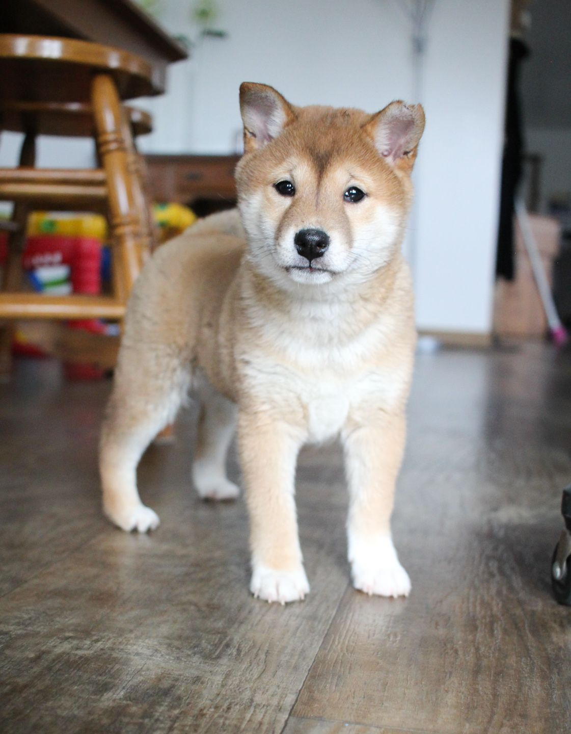 Puppies for Sale Shiba inu puppy, Puppies, Cute dogs and