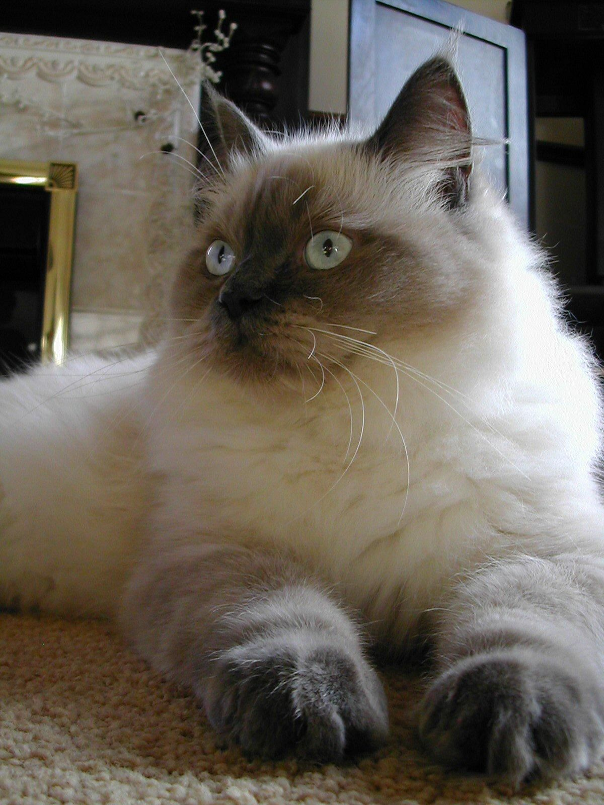 Cat Breeds A to Z