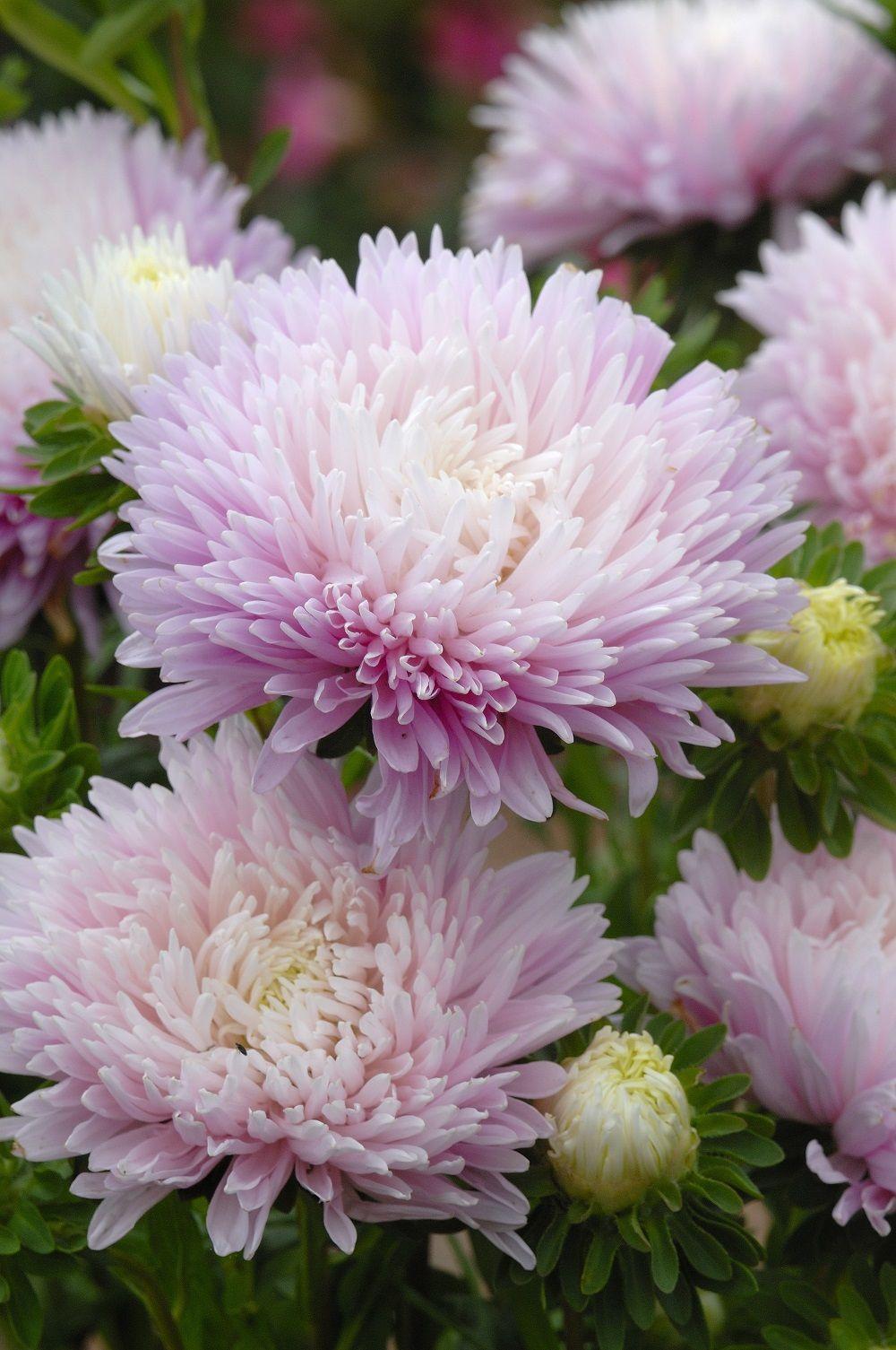 King Size Appleblossom Aster Callistephus Chinensis Flower Pots Flowers Seed Catalogs