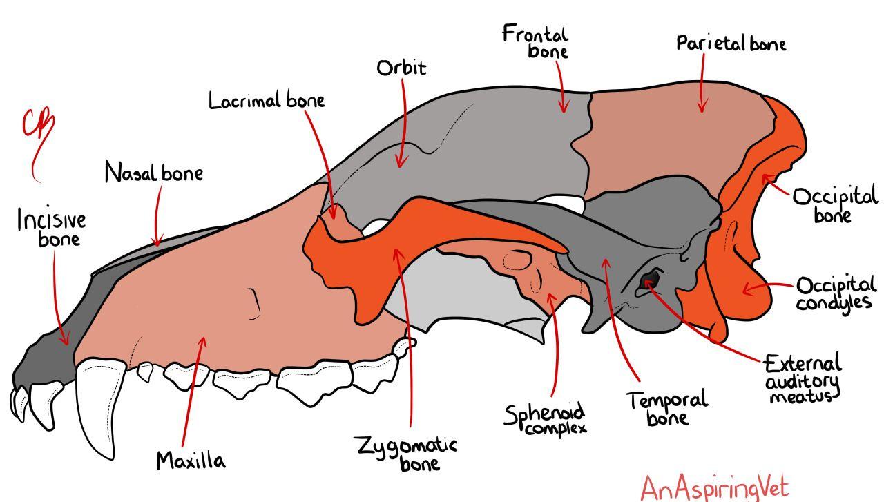 Canine Skull Diagram - Information Of Wiring Diagram •
