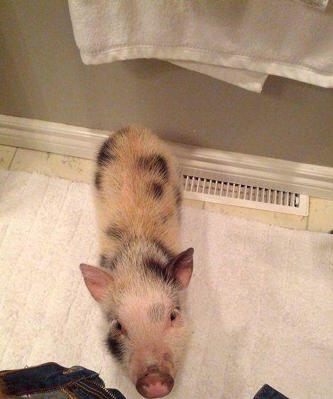 I want a pet pig