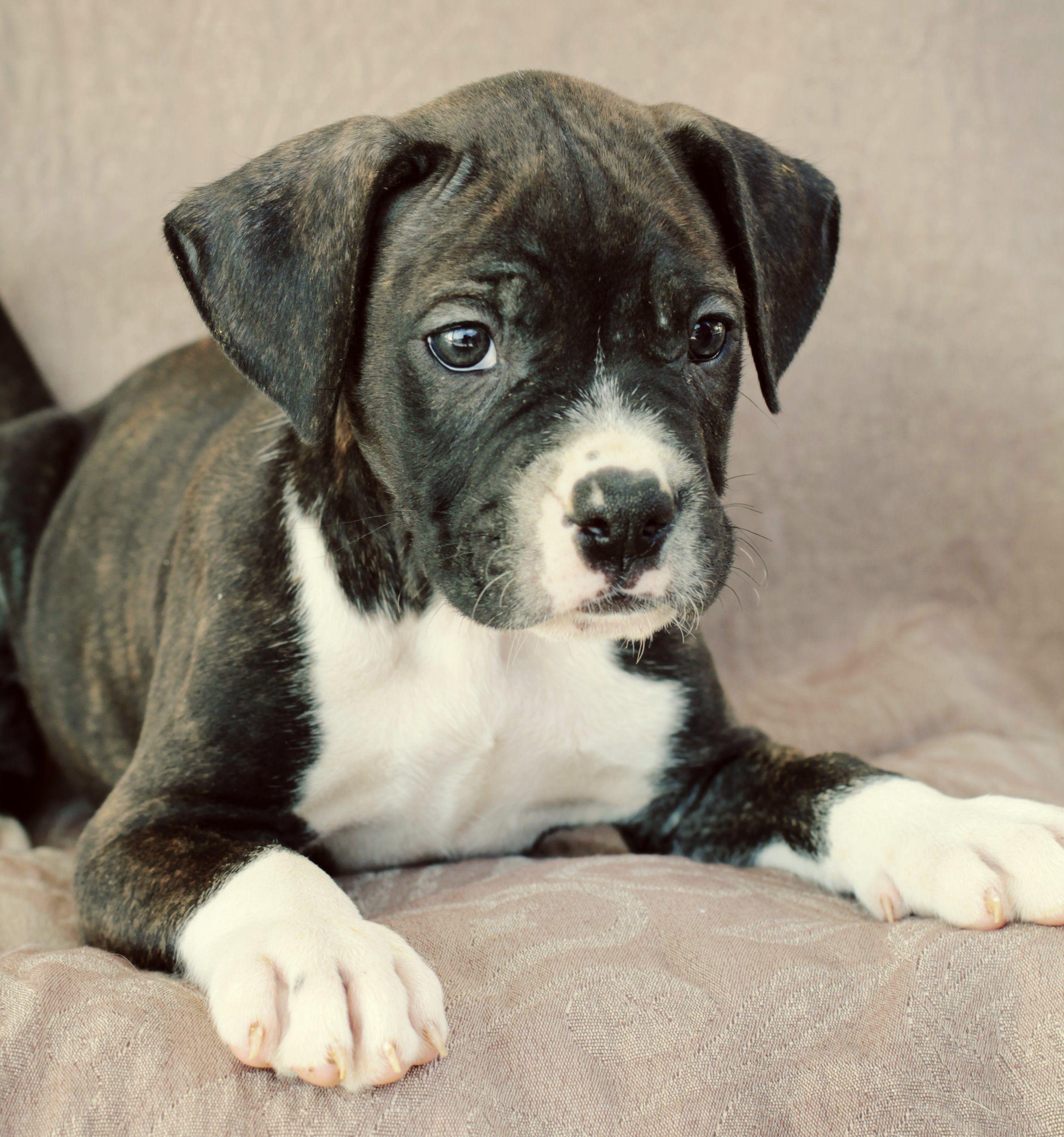 Adopt Nolan on Homeless pets, American bulldog mix, Puppies