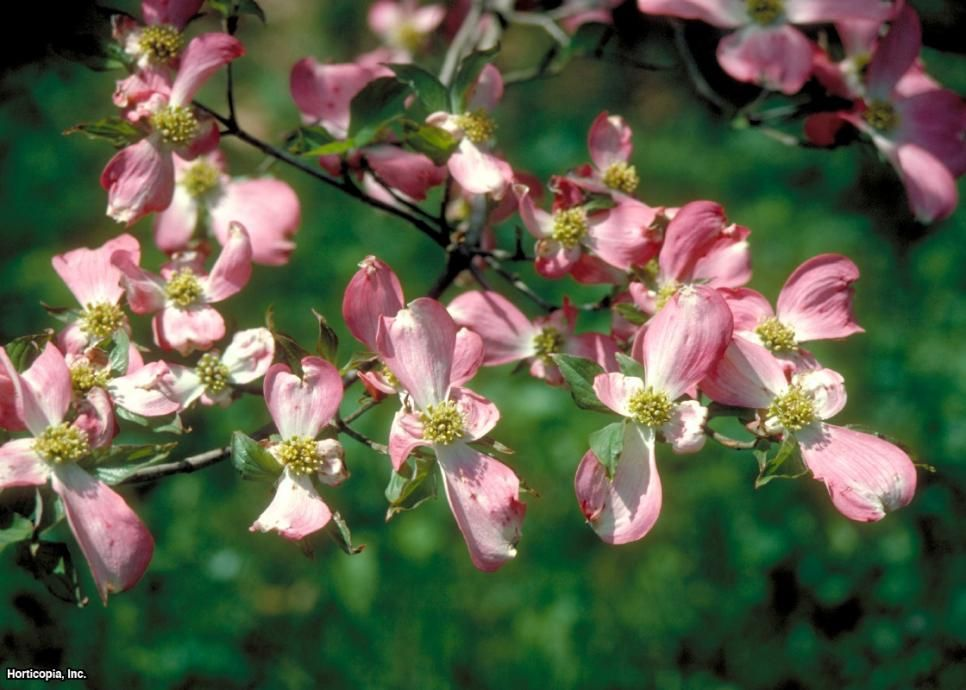 Flowering Dogwood Tree Varieties Dogwood trees, Fast