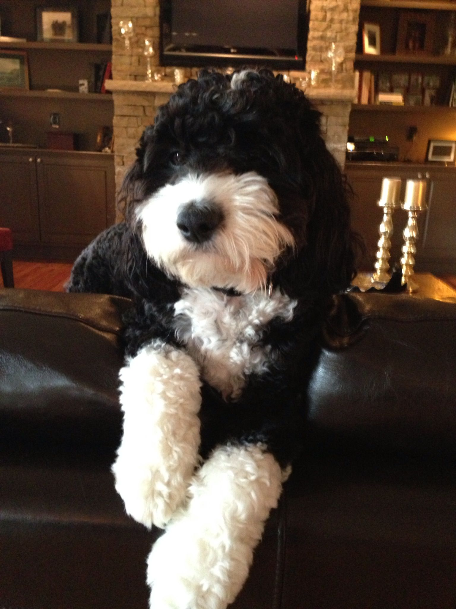 Aussiedoodle Black and White Puppies, Dogs, Cute dogs