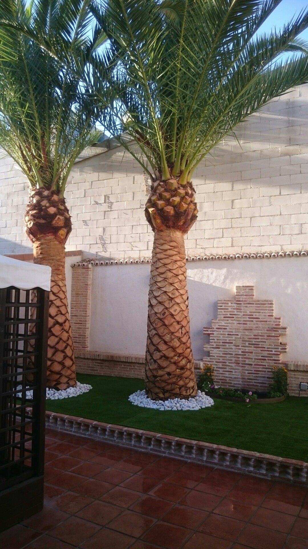 HARDY! ~ YUCCA FILIFERA ~ ST PETER'S PALM TREE SUCCULENT ...   Name Cactus Palm Tree