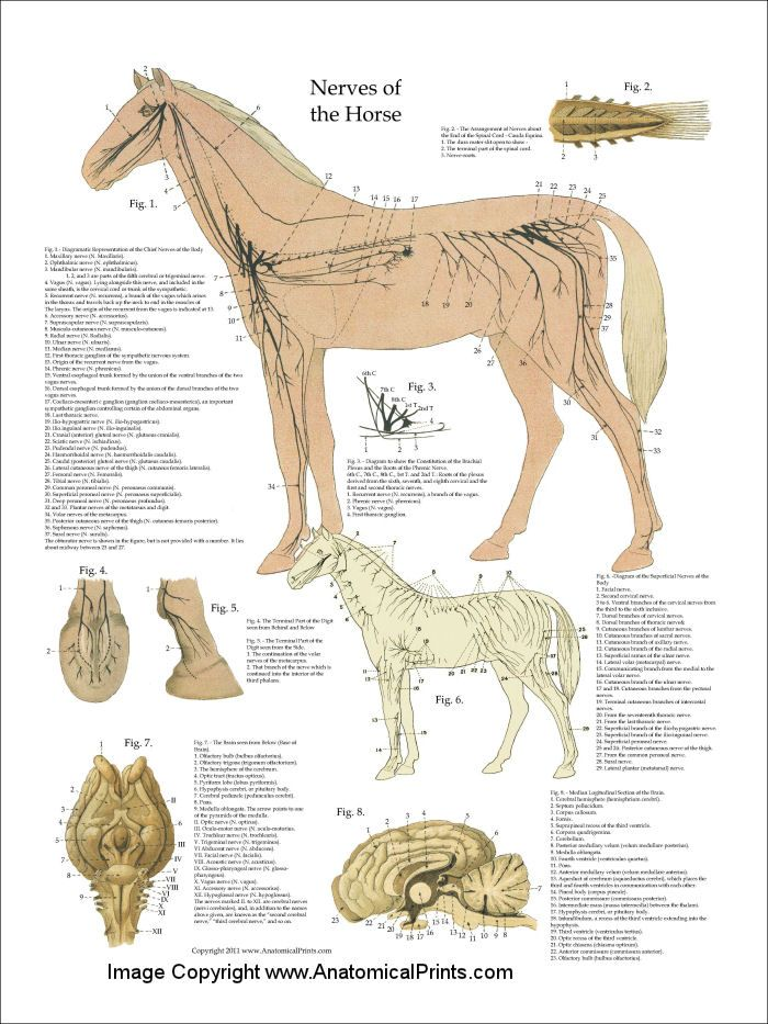 Horse Nervous System Anatomy Poster - 18\