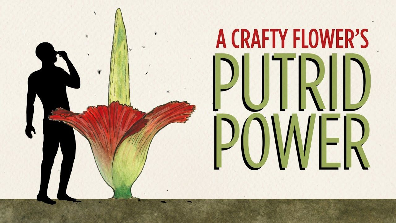 A Crafty Flower S Putrid Power Corpse Flower Corpse Flower Bloom Stinky Flower