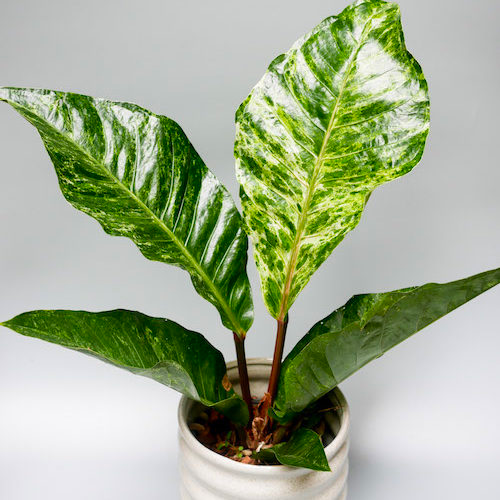 Anthurium Variegated By Plant Circle In 2020 Anthurium Plants Anthurium Plant