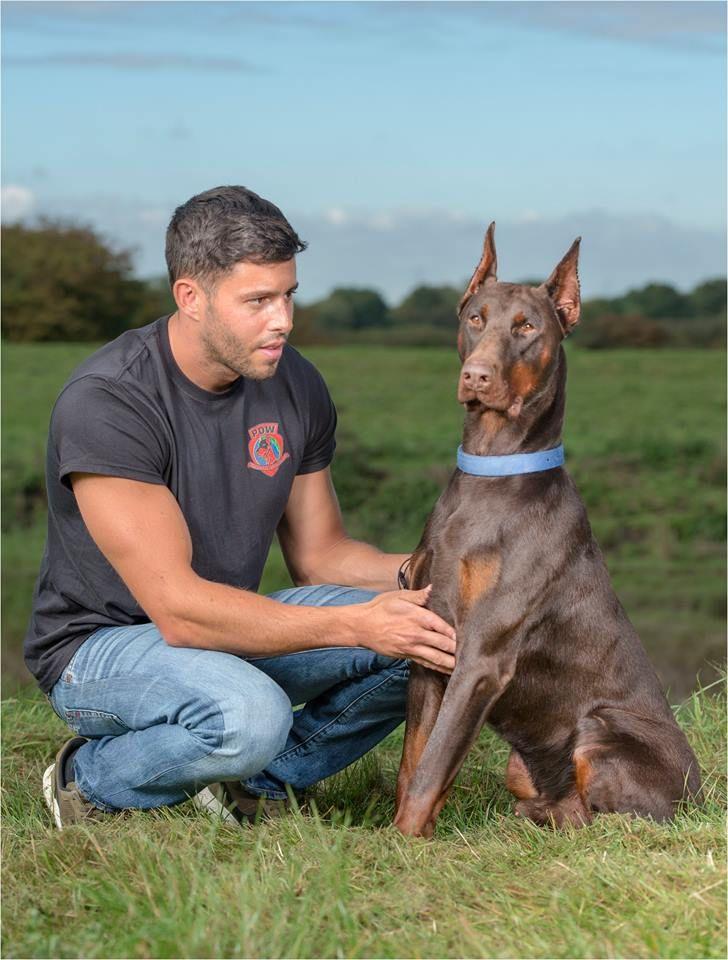 Docked Cropped Trained Dobermans For Sale Doberman Dog Breed