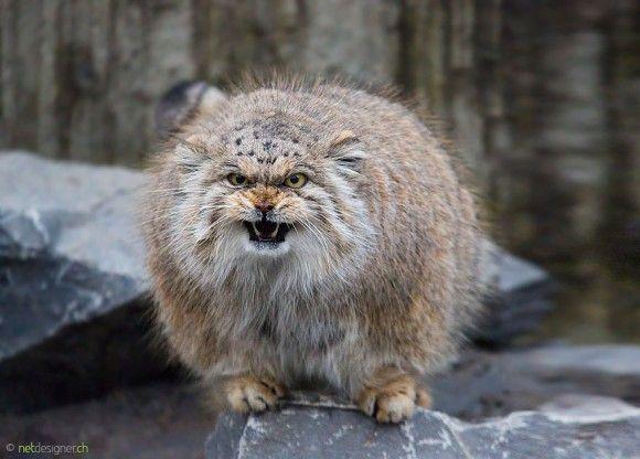 魅力満載 表情豊かなマヌルネコの愛くるキュートにズームイン カラパイア マヌルネコ 猫 子猫 美しい猫