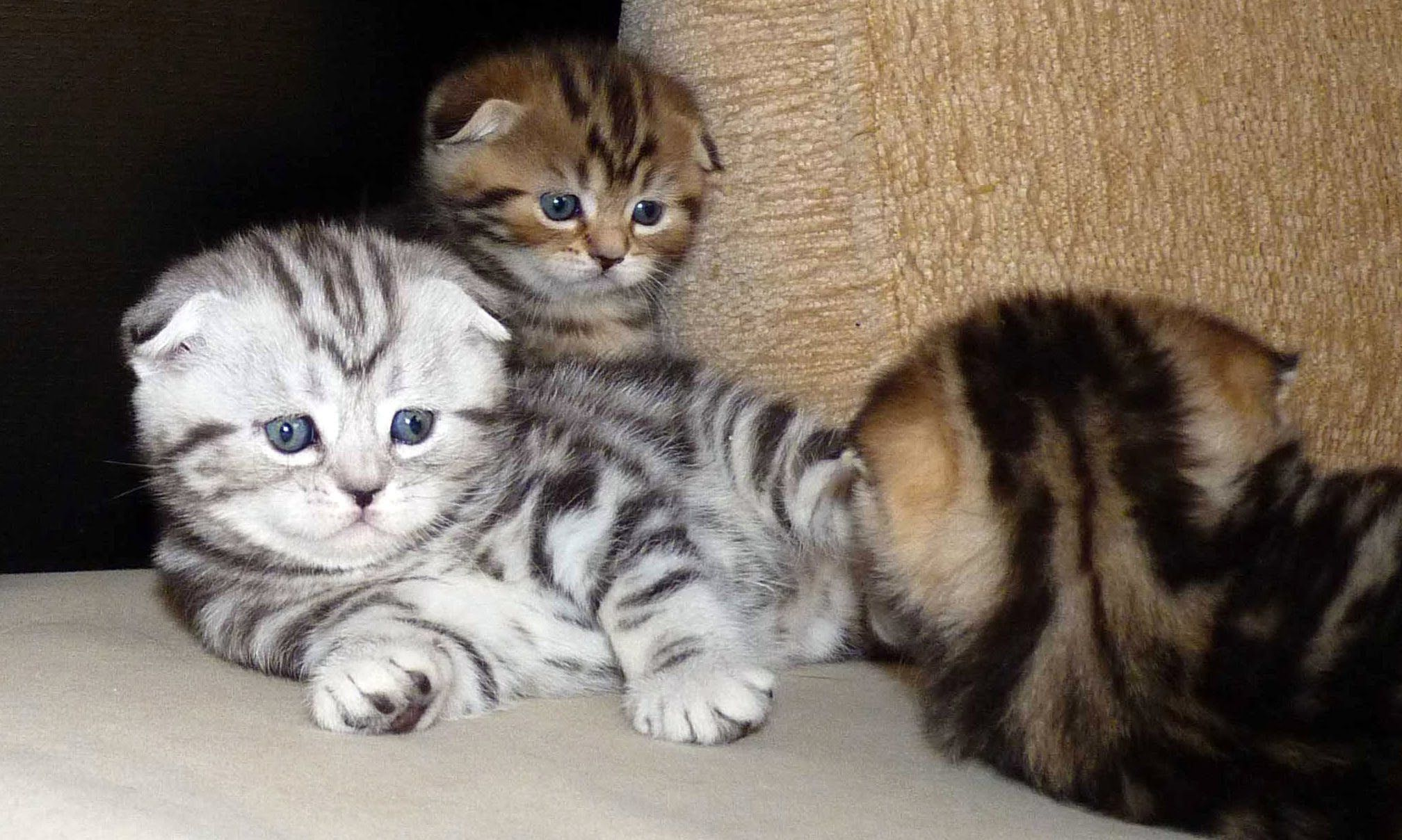 Cute Scottish Fold Scottish Straight Red Tabby And Black Silve R Aww Scottish Fold Kittens Cute Cats Kittens Funny