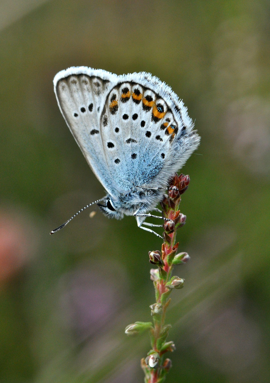 het heideblauwtje is een zeer zeldzame vlinder in nederland