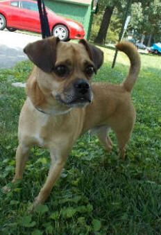 Adopt Pogo On Pug Mix Pugs Animals
