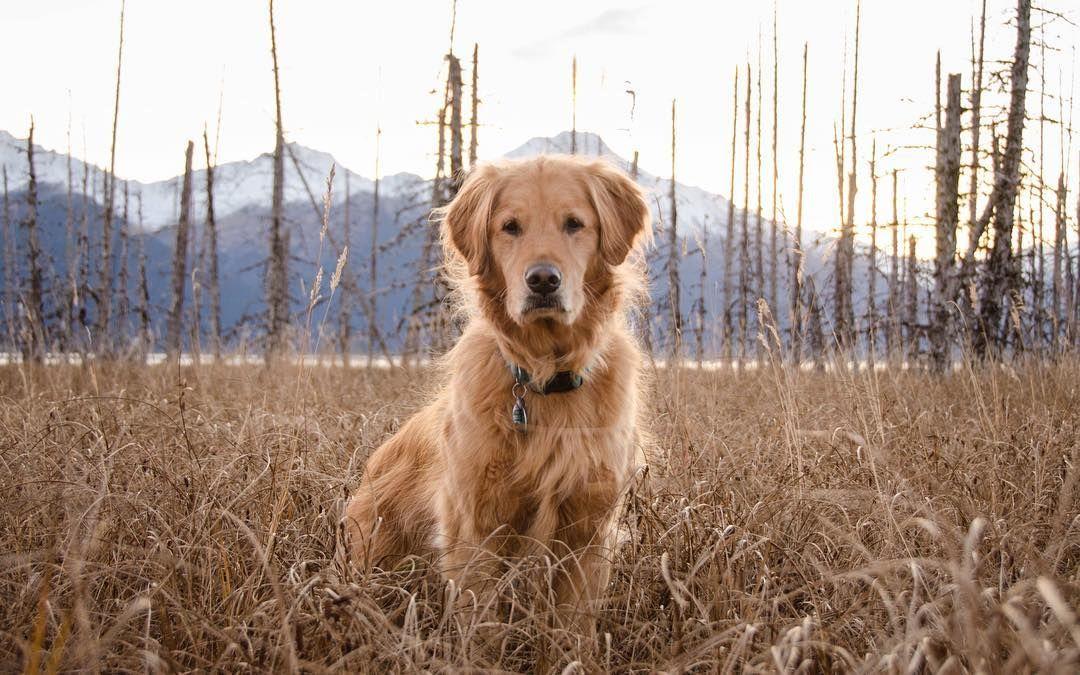 Ember Bristol Dog Love Golden Dog Golden Retriever