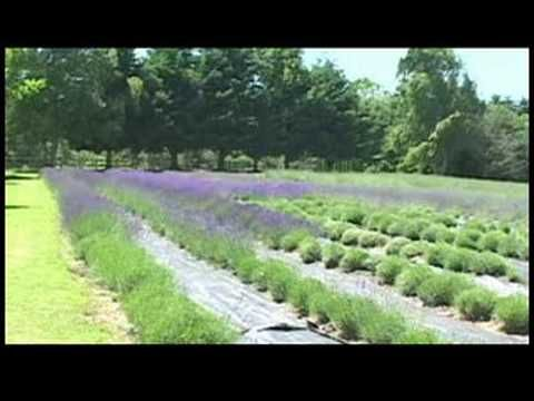 Pin By Heidi Engel On Gardens And Plants Lavender Farm Growing Lavender Lavender Garden