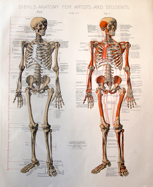 Diehls Anatomy For Artists Plate 1g Archive Human Anatomy