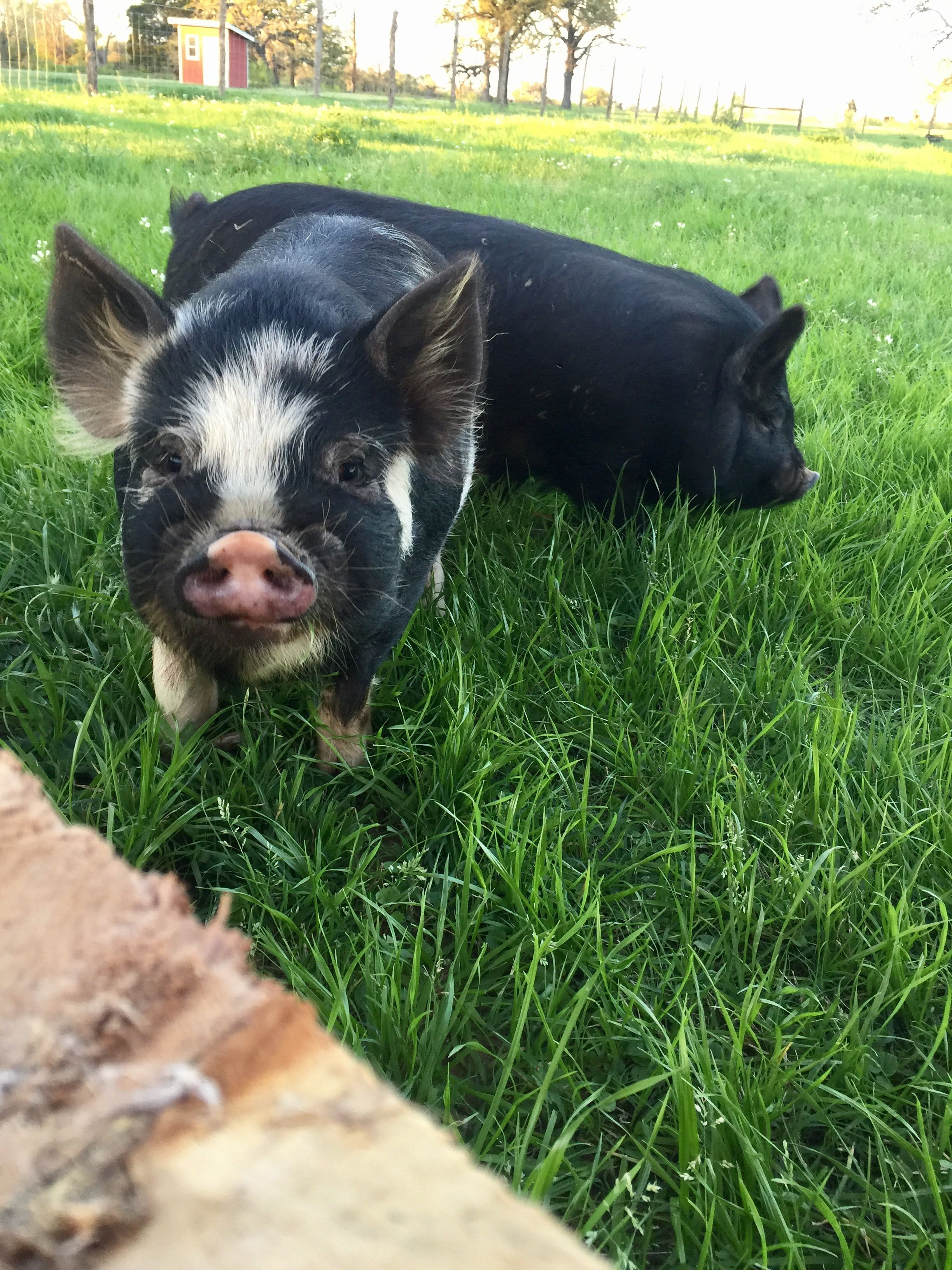 ham solo and chewbacon of green acres green acres farm animals