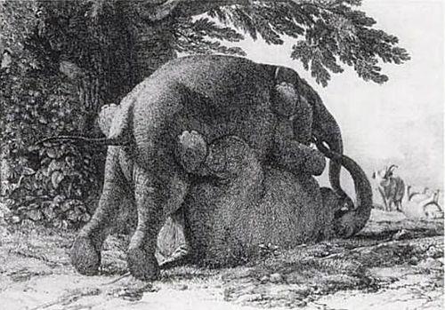 Pictures of elephants having sex #5